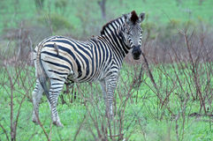 Zebra mit oxpeckers. stockbild