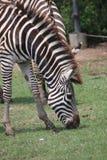 Zebra mit Schwarzweiss-Muster Lizenzfreie Stockbilder