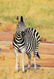 Zebra mit Vogel Lizenzfreie Stockbilder