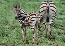 Zebra and mom Stock Image
