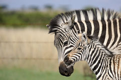 Zebra mom and baby Stock Photo