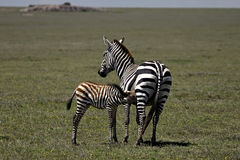 Zebra mom and baby Royalty Free Stock Image