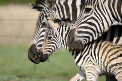 Zebra mom, dad and baby Royalty Free Stock Photo
