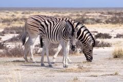 Zebra mom and foal Royalty Free Stock Image