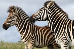 Zebra Mom and Foal Stock Image