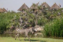 Zebra in mondo di safari fotografia stock