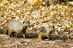Zebra Mongoose. On Hunt, Tanzania Stock Image