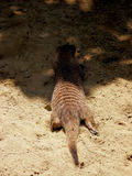 Zebra mongoose Stock Photo