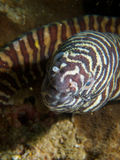 Zebra moray. Close-up of the head of a zebra moray eel. Ad Dimaniyat Islands, Oman Royalty Free Stock Photos