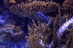 Zebra moray eel Foto de archivo libre de regalías