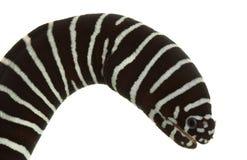 Zebra Moray Eel royalty free stock photos