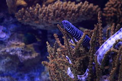 Zebra moray eel. Behind the corals Royalty Free Stock Photo