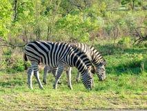 Zebra on morning game drive safari. Zebra on a morning game drive safari in South Africa Royalty Free Stock Photos