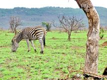 Zebra on morning game drive safari. Zebra on a morning game drive safari in South Africa Royalty Free Stock Photo