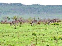 Zebra on morning game drive safari. Zebra on a morning game drive safari in South Africa Stock Photos