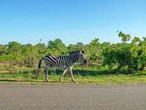 Zebra on morning game drive safari. Zebra on a morning game drive safari in South Africa Royalty Free Stock Image