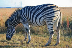 ZEBRA IN THE MORNING LIGHT Stock Photo