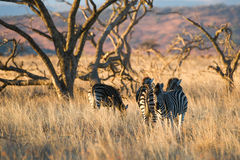 Zebra in morning light South Africa Stock Photo