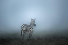 Zebra in the Morning mist, serengeti Stock Photos