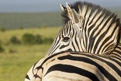 Zebra in morning sunlight Royalty Free Stock Images