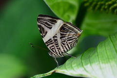 Zebra Mosaic butterfly Royalty Free Stock Photo