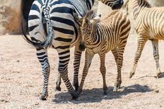 Zebra Mother And Calf In African Savanna Stock Image