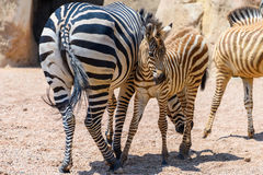 Zebra Mother And Calf In African Savanna Royalty Free Stock Photography