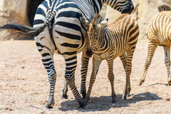 Zebra Mother And Calf In African Savanna Royalty Free Stock Images