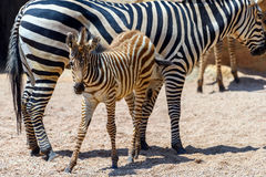 Zebra Mother And Calf In African Savanna Stock Photo