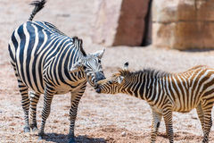 Zebra Mother And Calf In African Savanna Royalty Free Stock Image