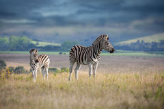 Zebra mother and calf Royalty Free Stock Photo