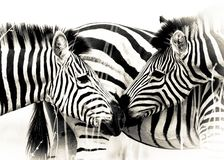 Zebra Mother Calf royalty free stock photo