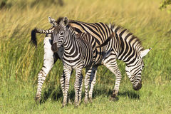 Zebra Mother Calf Colt Stock Photos