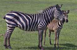 Zebra mother with calf in Lake Manyara, Tanzania Stock Image