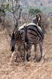 Zebra mother and calf staying close together royalty free stock image