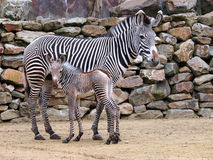 Zebra mother with child Royalty Free Stock Images