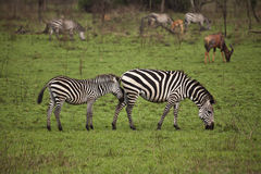 Zebra mother and daughter Royalty Free Stock Photo