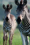 Zebra mother and daughter Stock Images