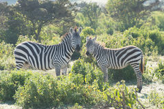Zebra mother and foal head to head Stock Images
