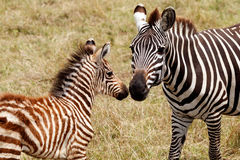 Zebra Mother and Foal Stock Photography