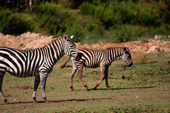 Zebra mother and foal Royalty Free Stock Images
