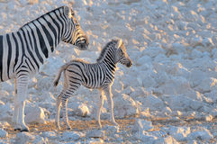 Zebra mother and foal, Okaukeujo waterhole Stock Image