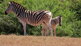 Zebra Mother and Foal stock video footage