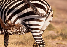 A Zebra Mother and it's foal Royalty Free Stock Photography