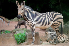 Zebra mother with young zebra Royalty Free Stock Photos