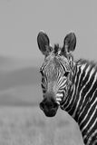 zebra mountain Fotografia Stock