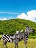 Zebra at  mountain hill on daylight Stock Photo