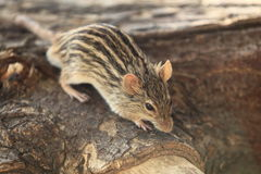 Zebra mouse Stock Images