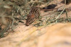 Zebra mouse. In the soil stock photos