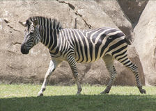 Zebra on the Move. A zebra on the move at the Asheboro Zoo in North Carolina royalty free stock photography